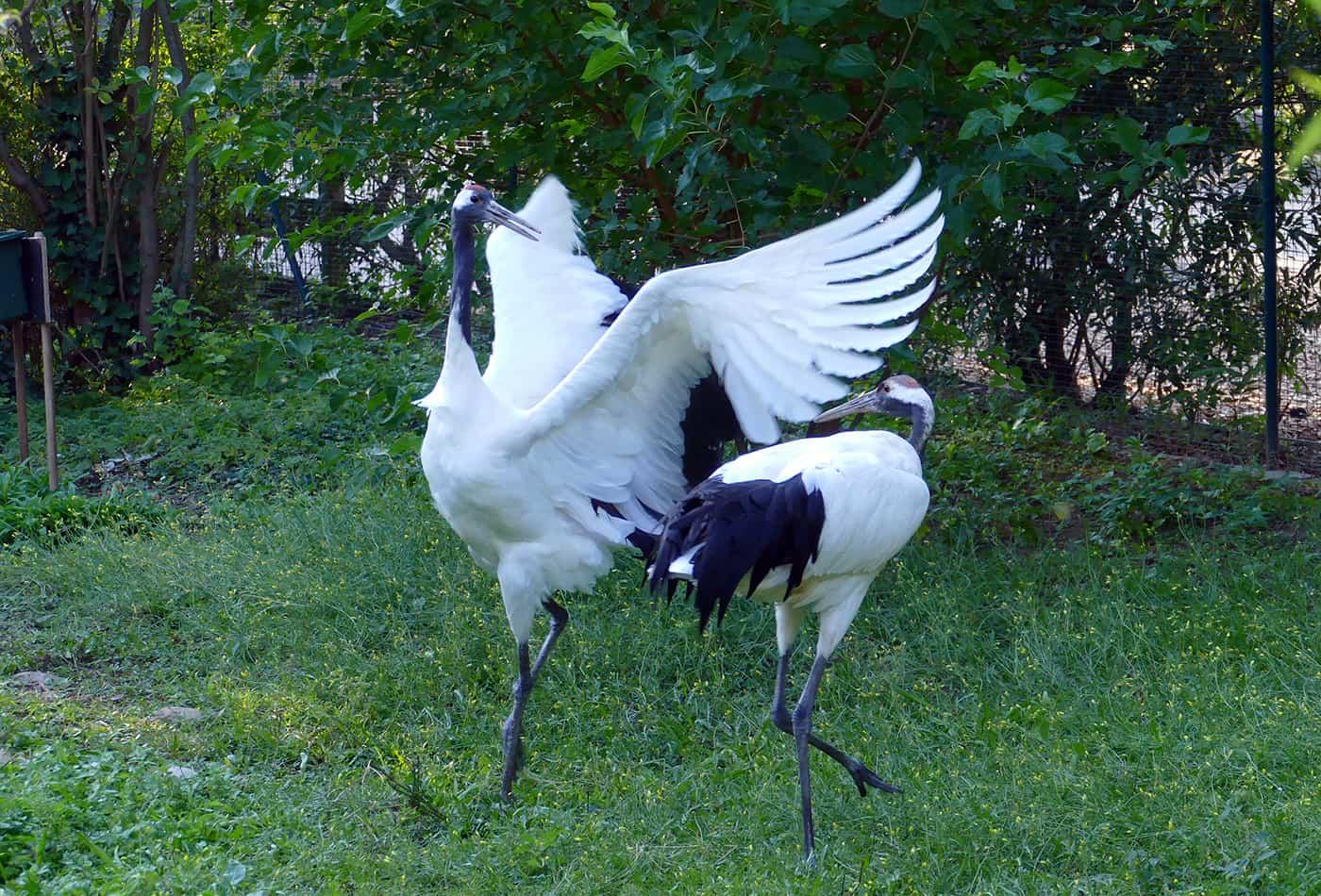 Kraniche im Zoo Heidelberg (Foto: Petra Medan/Zoo Heidelberg)