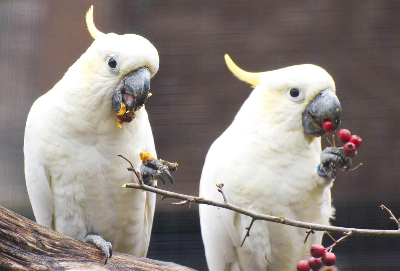 Gelbwangenkakadus finden ihren Partner bereits in ihrer Jugend (Foto: Zoo Heidelberg)