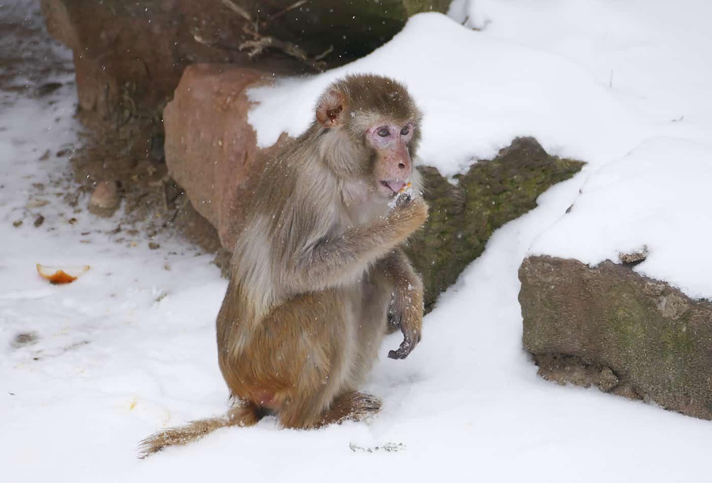 Rhesusaffe im Schnee (Foto: Petra Medan/Zoo Heidelberg)