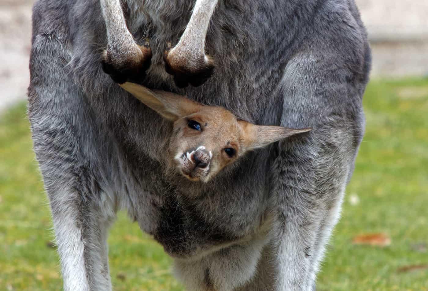 Junges Känguru guckt aus dem Beutel (Foto: K.W./Zoo Heidelberg)