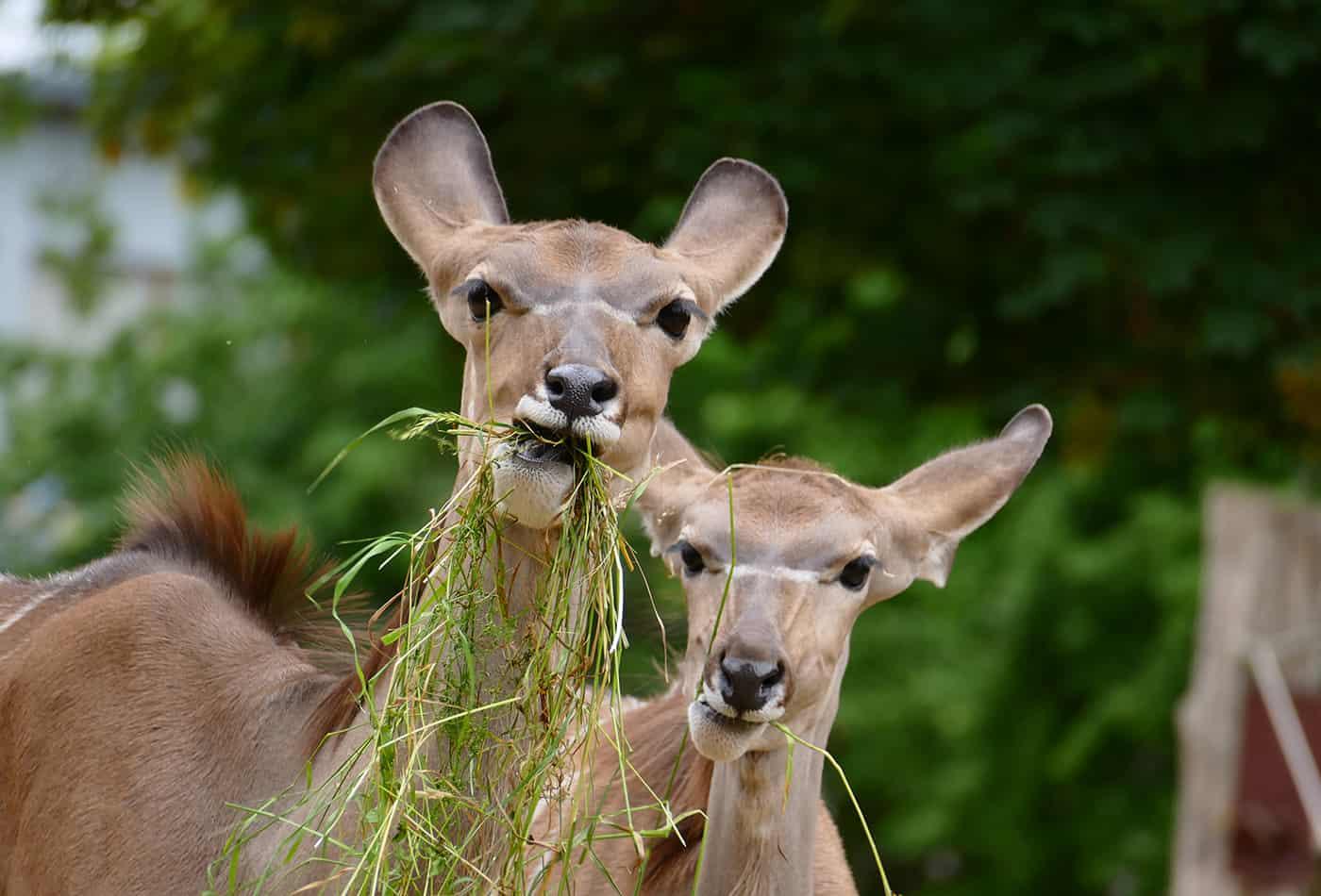 Neugierig wie die beiden Kudus: Ferienprogramme, Workshops & Co. sorgen auch in diesem Jahr im Zoo Heidelberg für Abwechslung. (Foto: Petra Medan/Zoo Heidelberg)