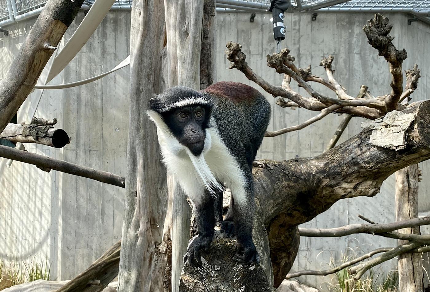 Roloway-Meerkatze im neuen Außengehege (Foto: Zoo Heidelberg)