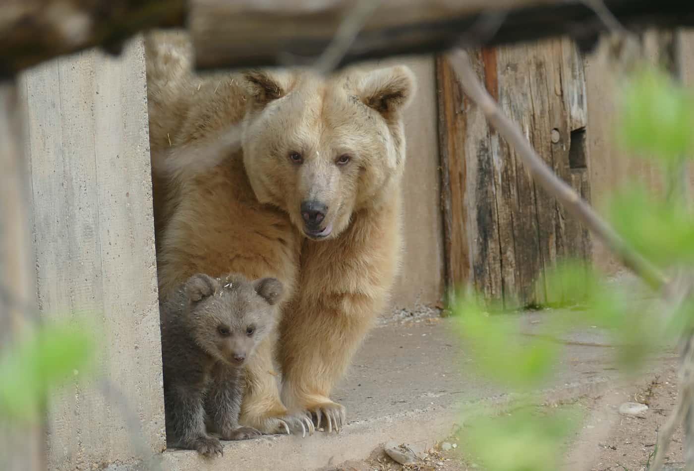 Bären-Nachwuchs Merle zeigt sich auf der Außenanlage (Foto: Heidrun Knigge/Zoo Heidelberg)