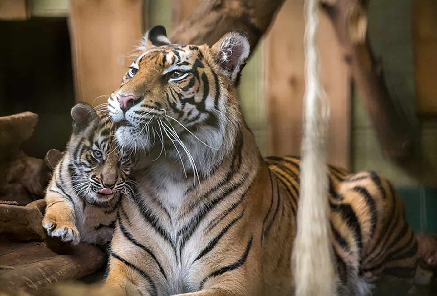 Tigerin Karis mit einem ihrer drei Jungtiere