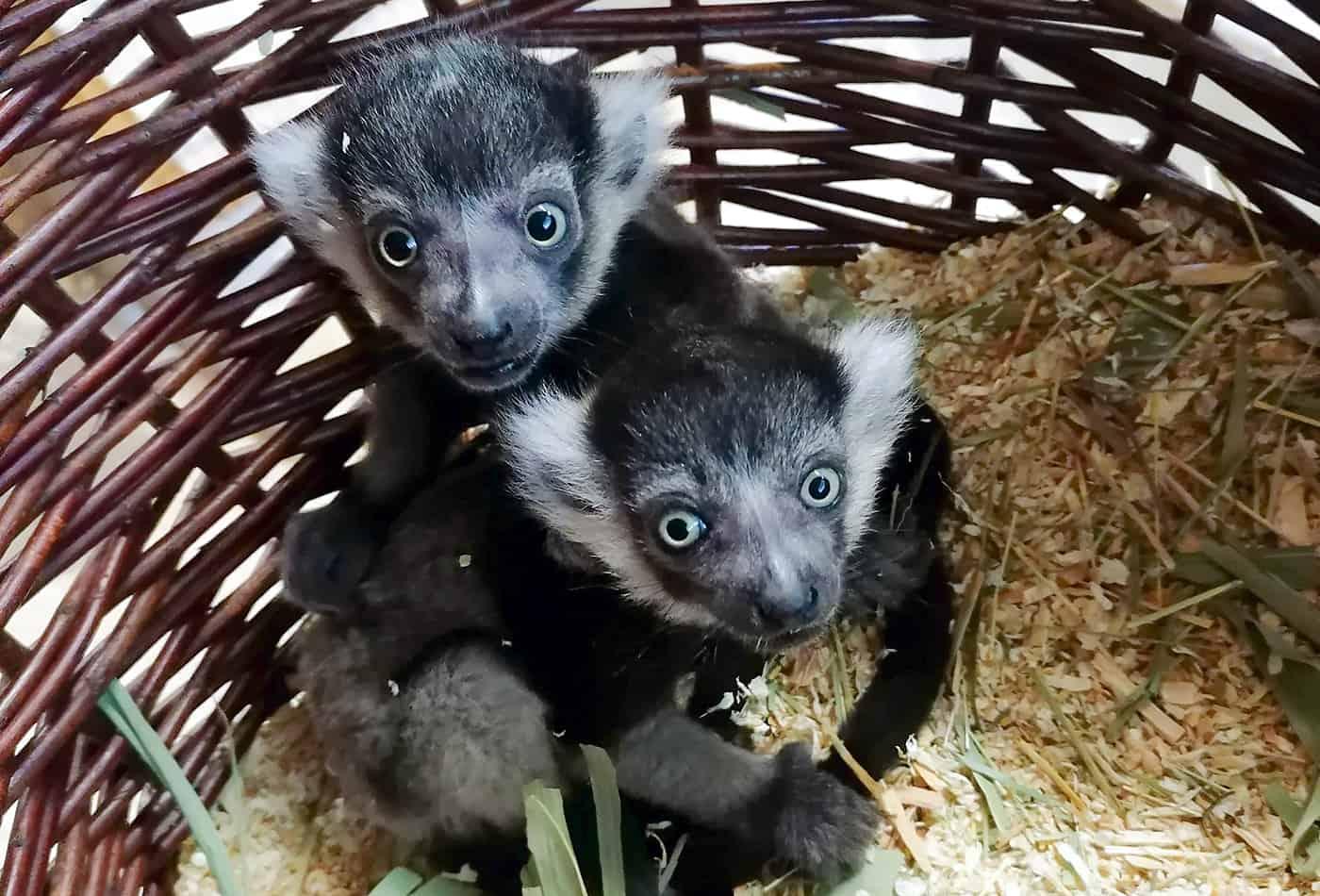 Fotos: Zwei Gürtelvaris kamen Mitte April im Zoo Heidelberg zur Welt und entwickeln sich prächtig. (Foto: Zoo Heidelberg)
