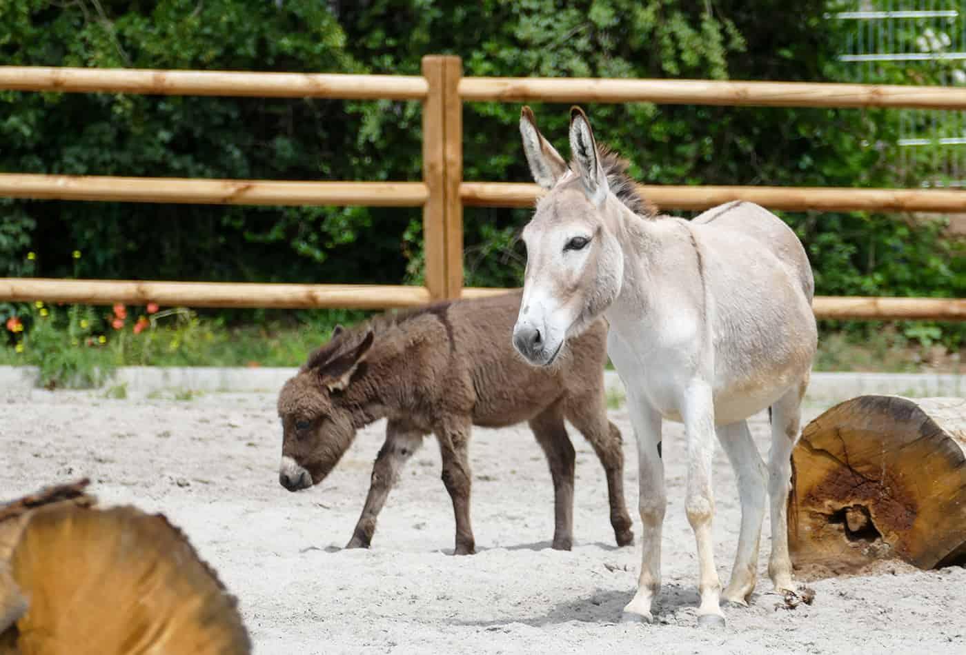 Esel im neuen Bauerhof im Zoo Heidelberg