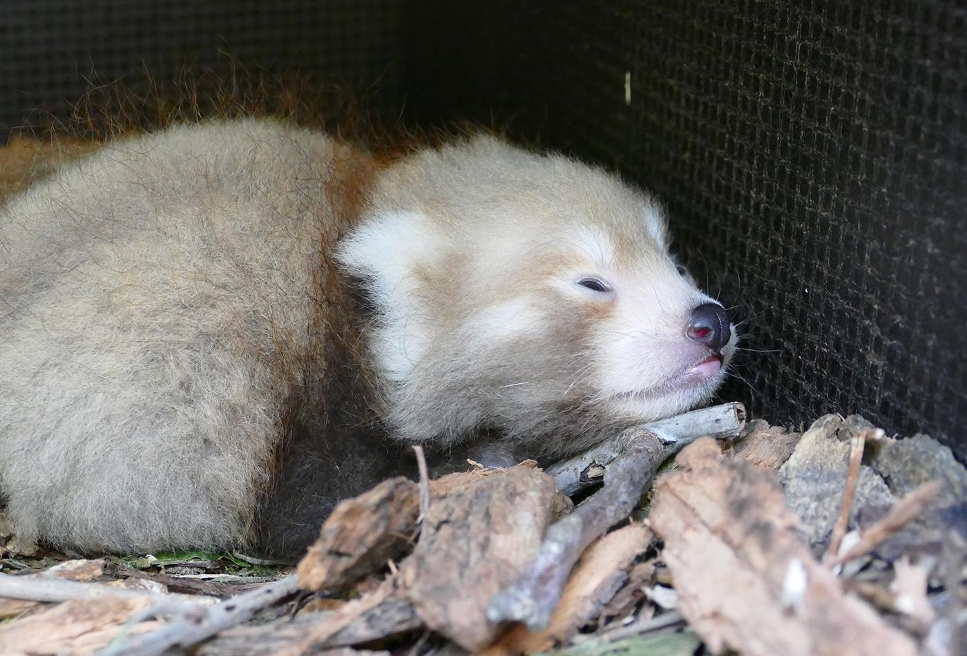 Foto: Nachwuchs bei den Roten Pandas: Wie alle jungen Roten Pandas schläft auch das Heidelberger Jungtier sehr viel. (Foto: Petra Medan/Zoo Heidelberg)