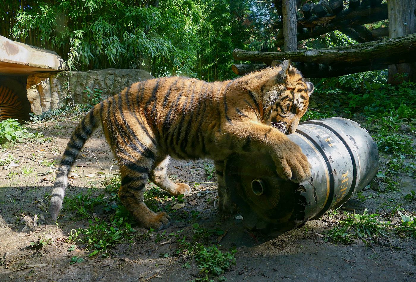 Die Jungen Sumatra-Tiger im Zoo Heidelberg entwickeln sich sehr gut, sind neugierig und fit. Neues Spielzeug wird genau unter die Lupe genommen. (Foto: Petra Medan/Zoo Heidelberg)